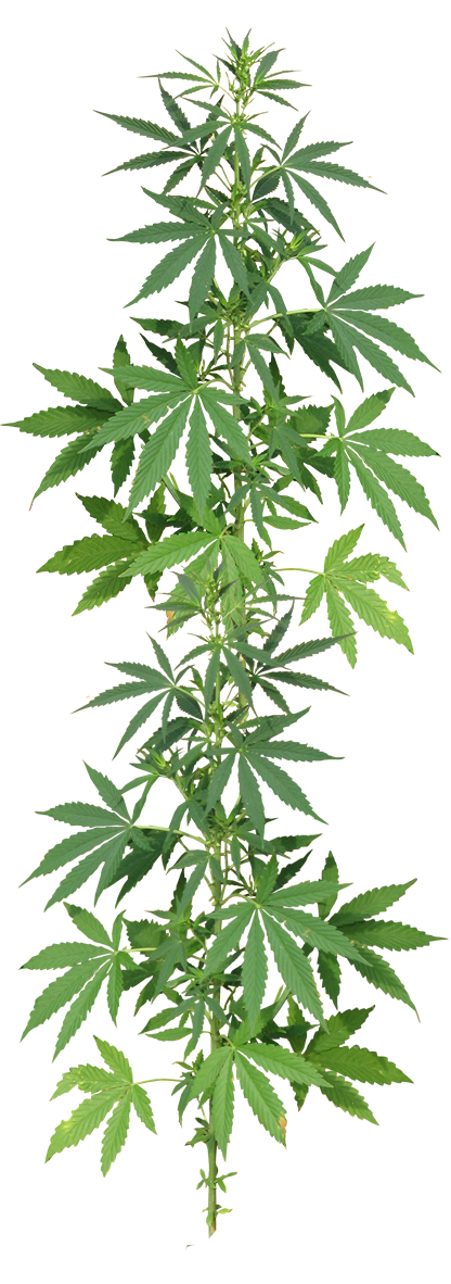 marijuana-plant-resized