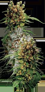 marijuana-plant-strain